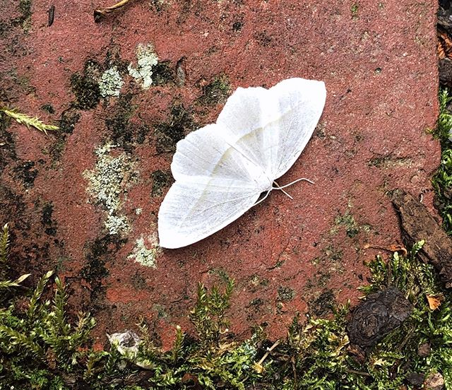 White moth beauty, a vision right outside my front door ☁️