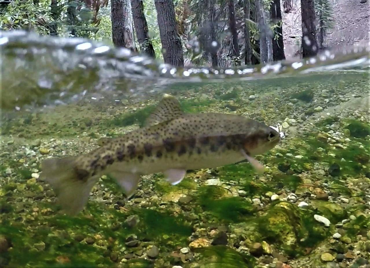 Trout Underwater.jpg