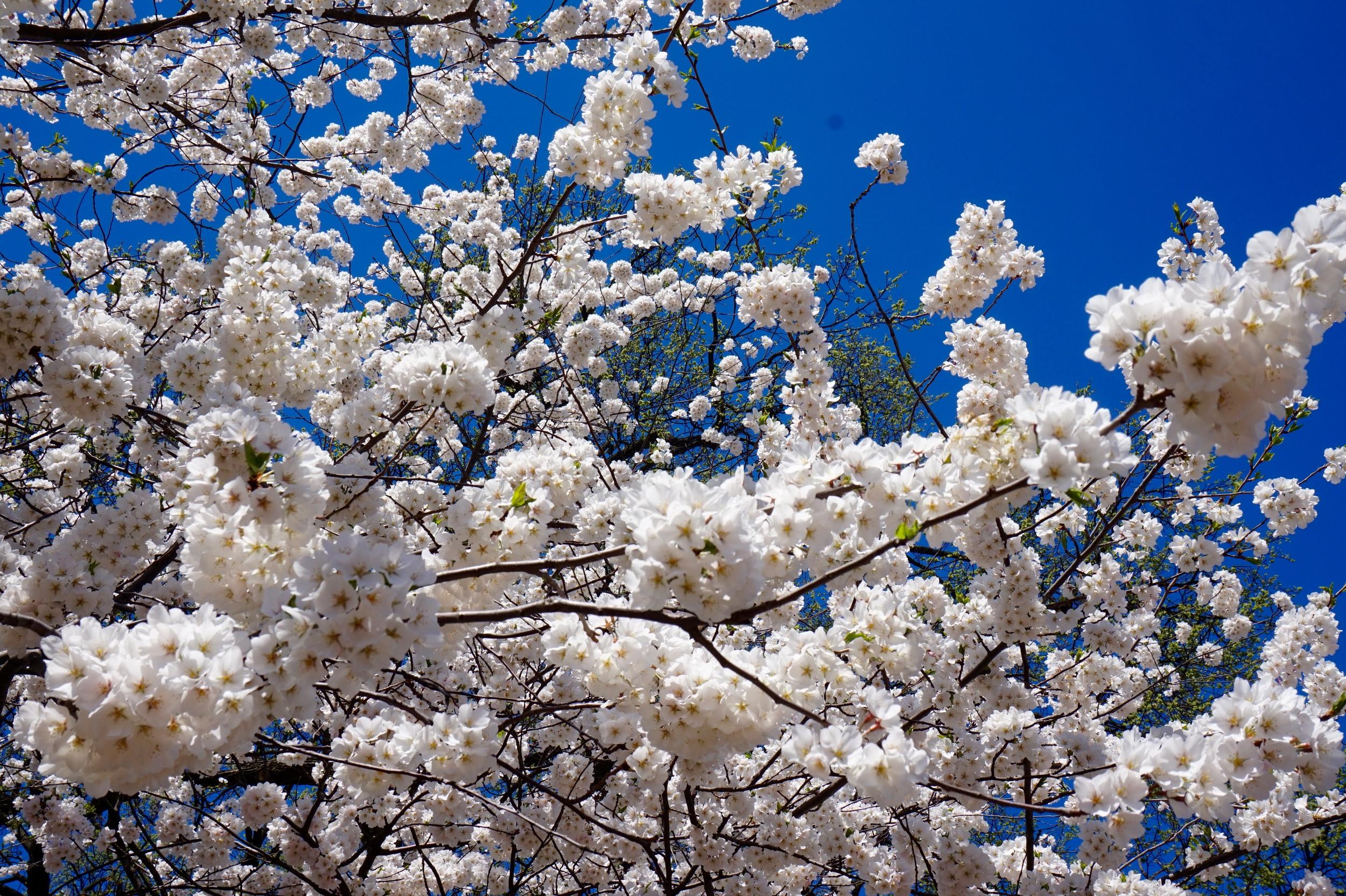 cherryblossomflower.jpg