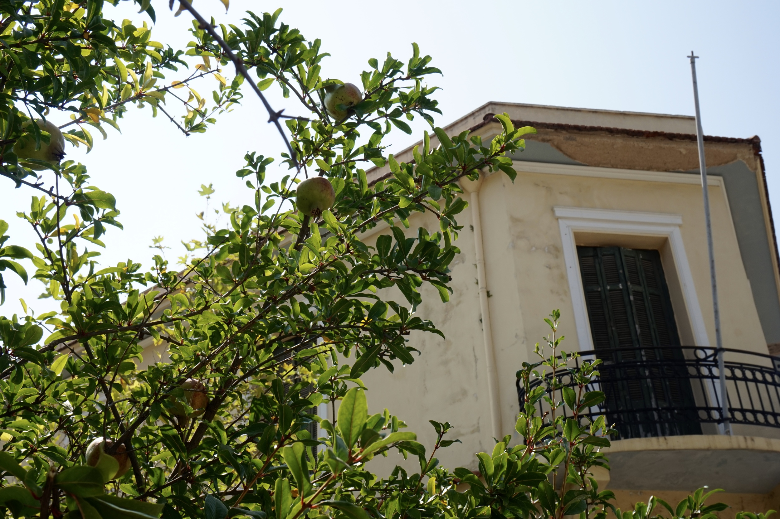 Pomegranate trees line the street leading away from the Acropolis.