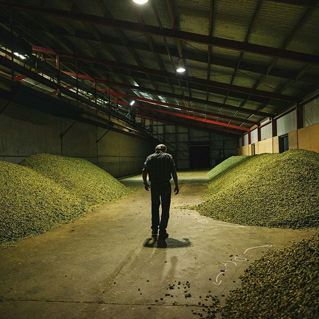 It's almost like a scene from a horror movie... One where the victims are millions of innocent hops and where the perfect crime is subsumed into your favourite brew. #guiltypleasure