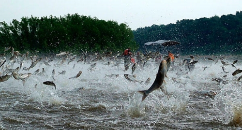Silver Carp invasion of the U.S. Rivers