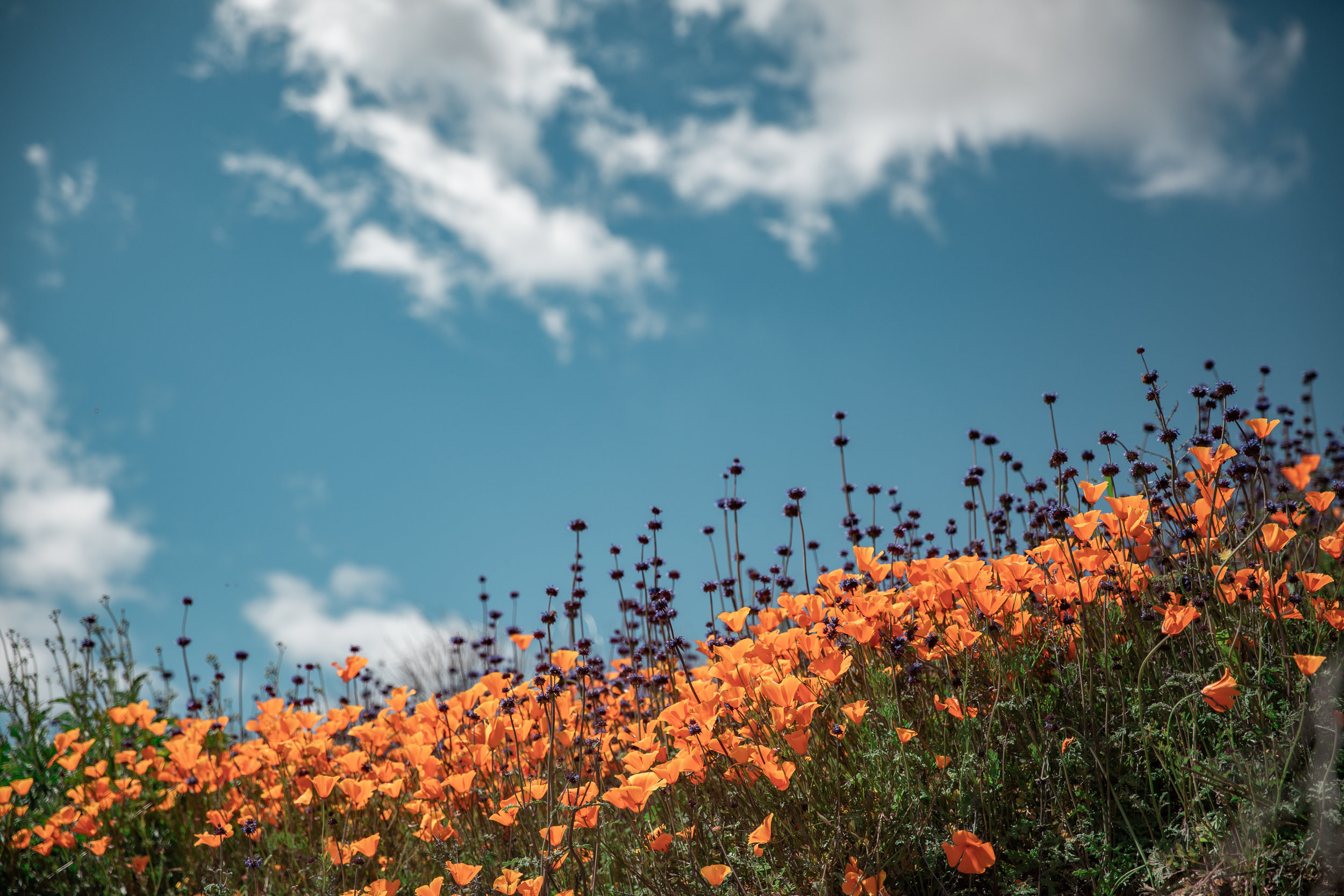 walker canyon poppy fields, super bloom, california wildflowers, mustard fields, California poppies