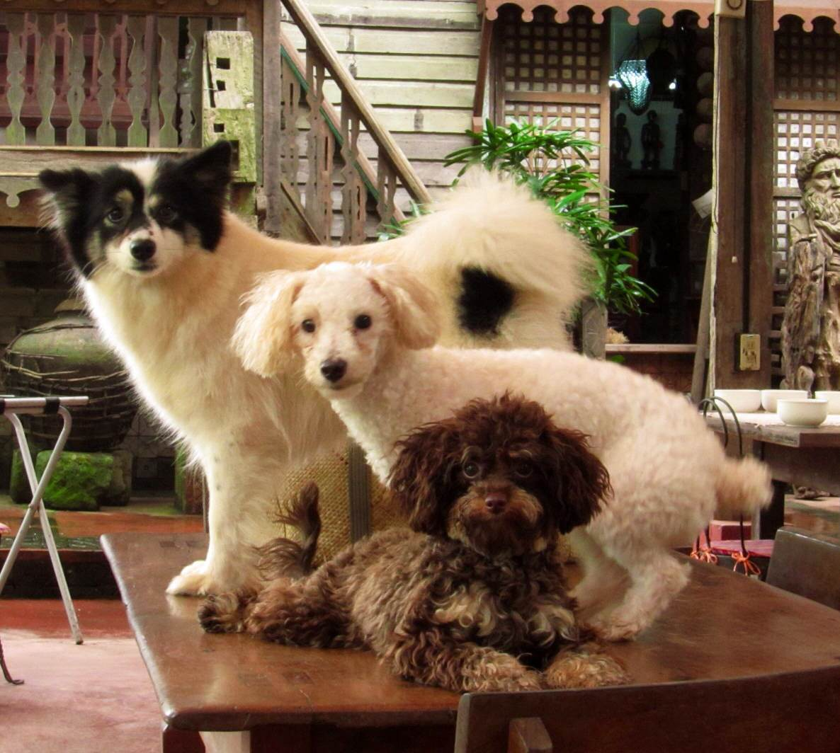 Petra, Blanquita and Tablea playing guard dogs for the cafe.