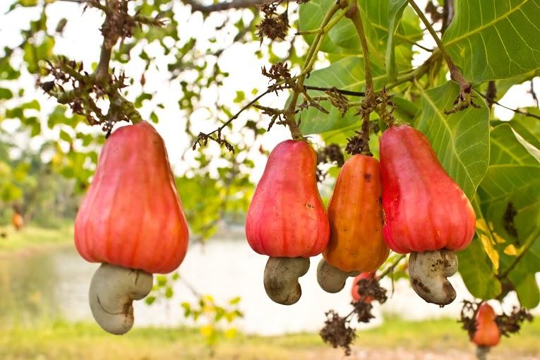 Cashew Apples © Shutterstock