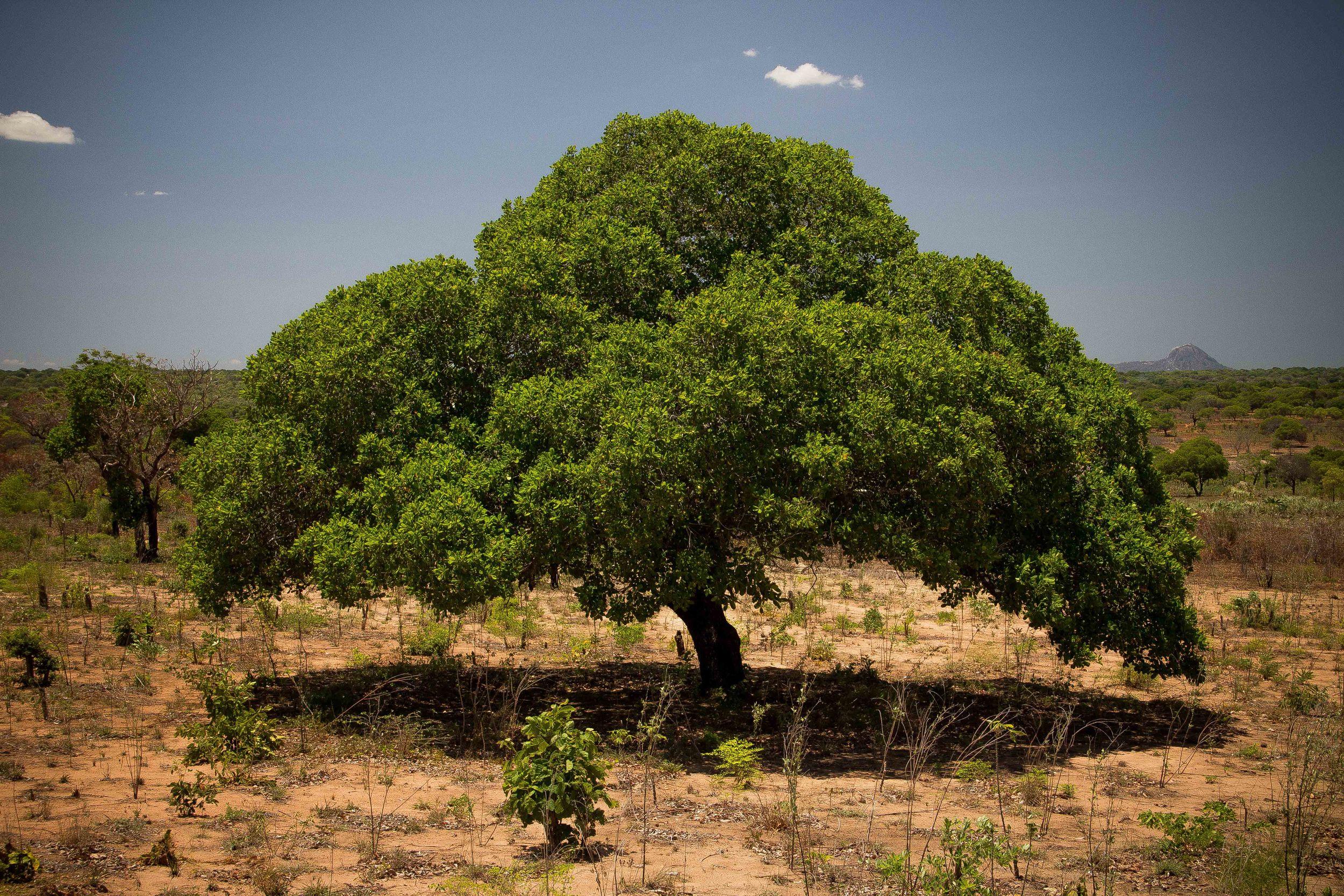 Mogovolas district, Nampula   province  – An adult cashew tree with a good and healthy canopy, free from wildfires |  Cajueiro adulto com boa copa e livre de queimadas descontroladas