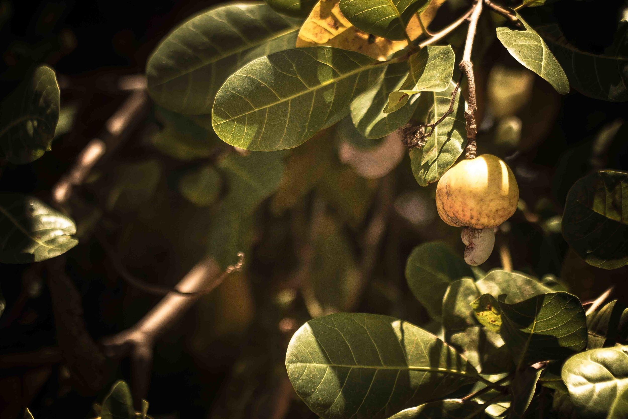 Mogovolas district, Nampula province  – One of the many varieties of cashew nuts | Uma das variedades de castanha de caju