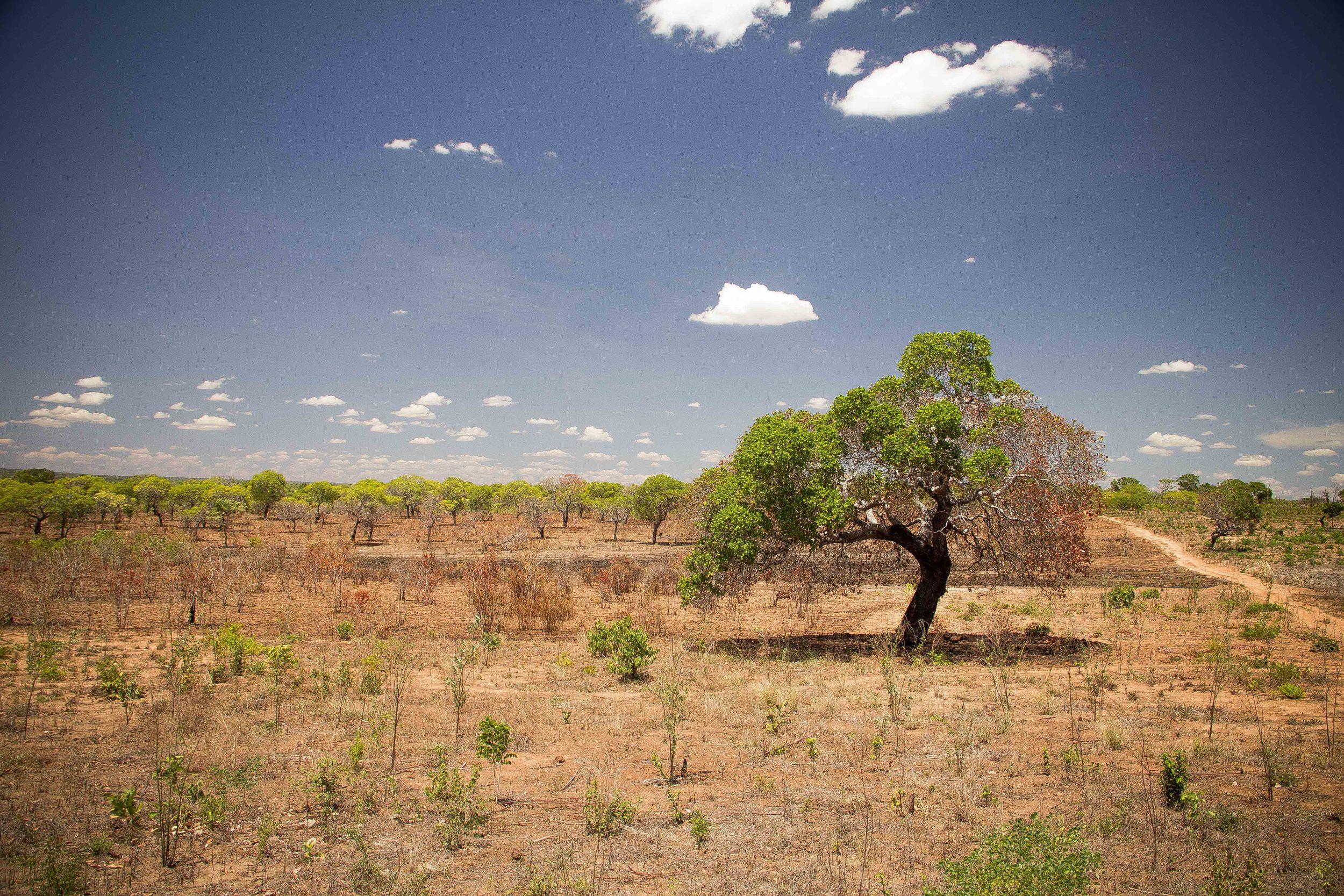 Mogovolas district, Nampula   province  – A farm with abandoned cashew trees that have suffered from annual wildfires |  Uma machamba de cajueiros abandonado que sofre de queimadas descontroladas anualmente