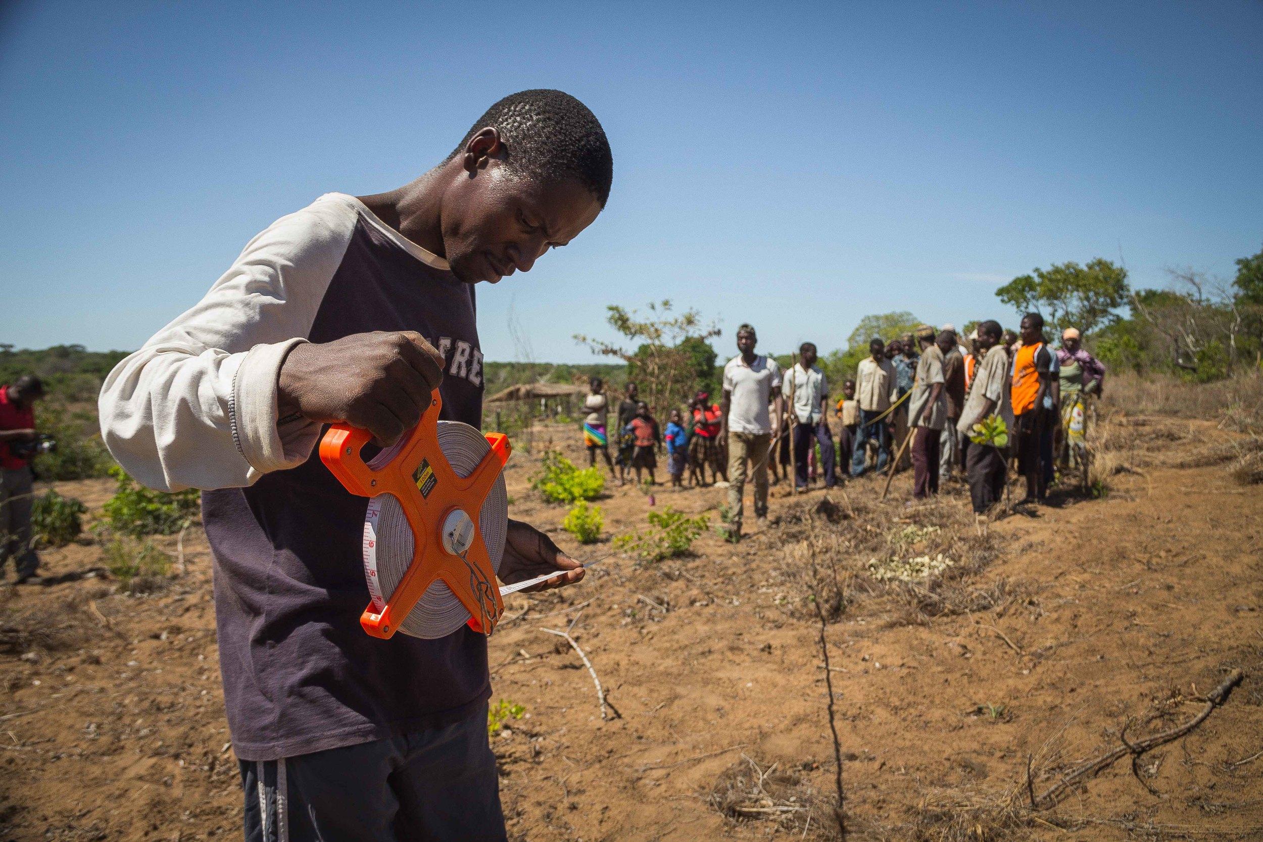 Mogovolas district, Nampula   province  – Cashew farmers learn to properly space the cashew seedlings while planting a new field |  Produtores aprendendo o compasso entre plantas no processo de plantio num novo campo