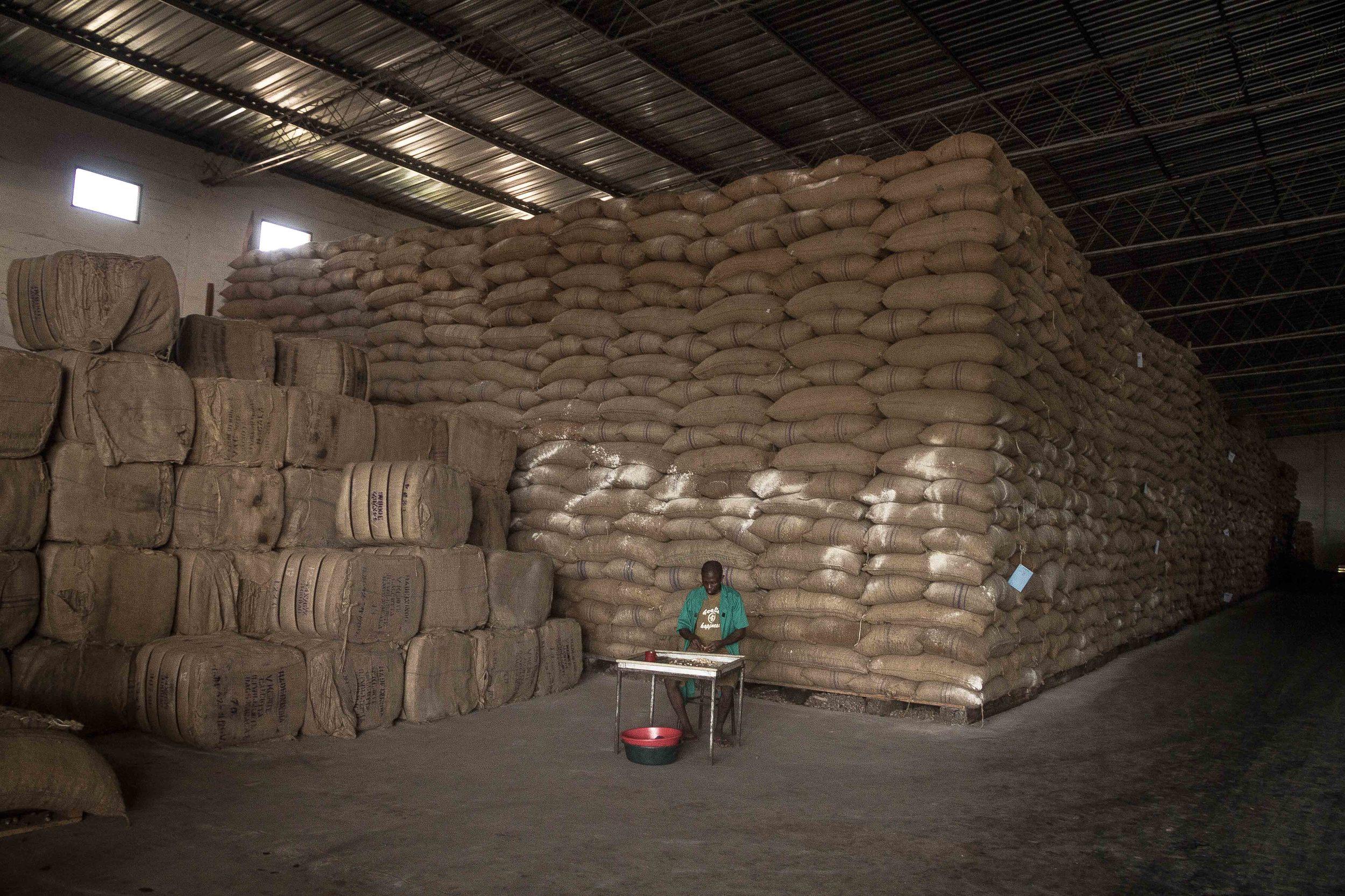 Anchilo district, Nampula province  – A worker at the Condor Nuts factory checks the quality of the purchased raw cashew nut that is stored inside the warehouse |  Um trabalhador da fábrica da Condor Nuts verifica a qualidade da castanha de caju dentro do armazém