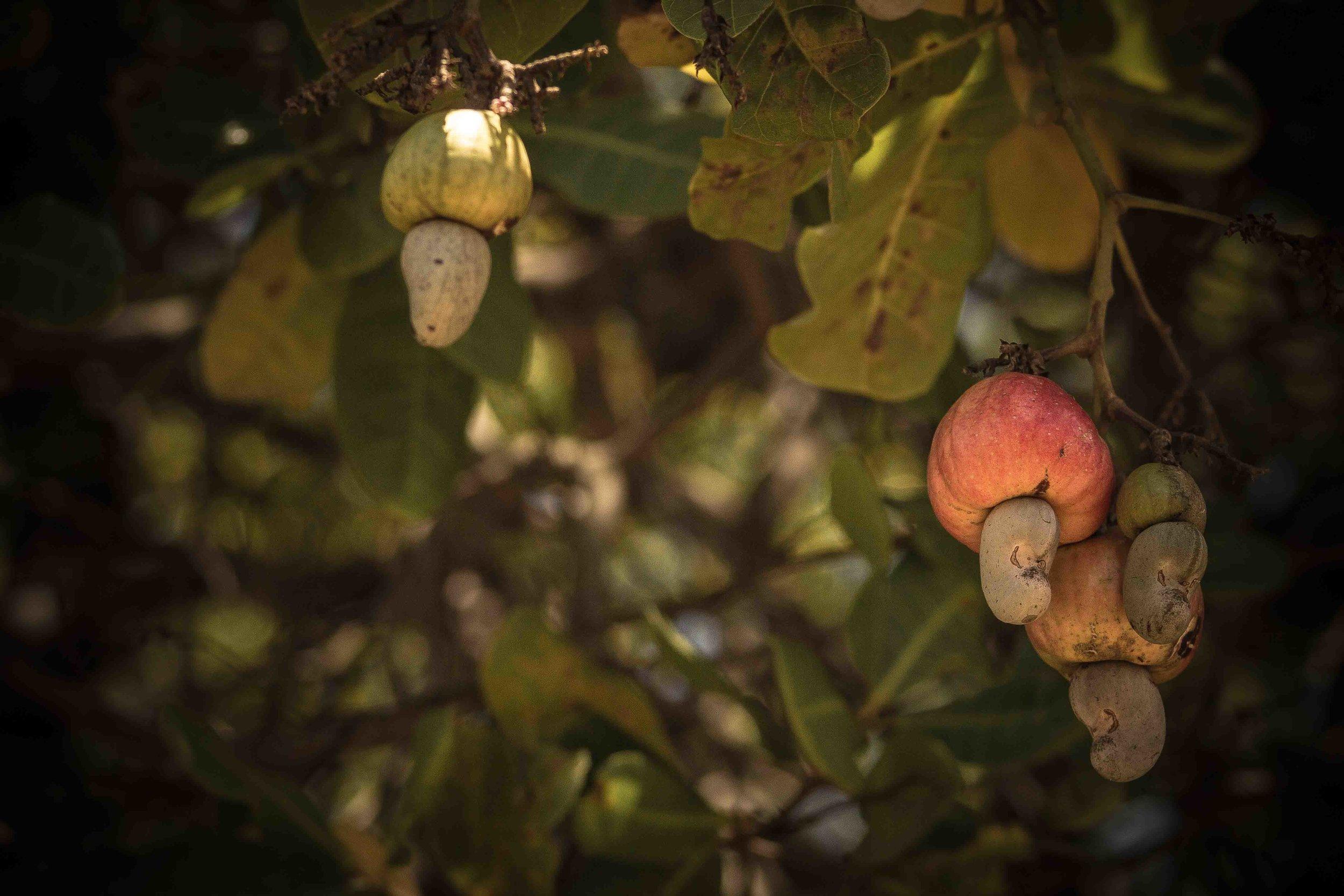 Mogovolas district, Nampula   province  – The cashew harvest season in Mozambique begins around October and lasts through December, when trees are laden with both cashew fruit and nuts |  A colheita de castanha de caju em Moçambique começa em outubro e dura até dezembro, quando os cajueiros estão cheio de caju