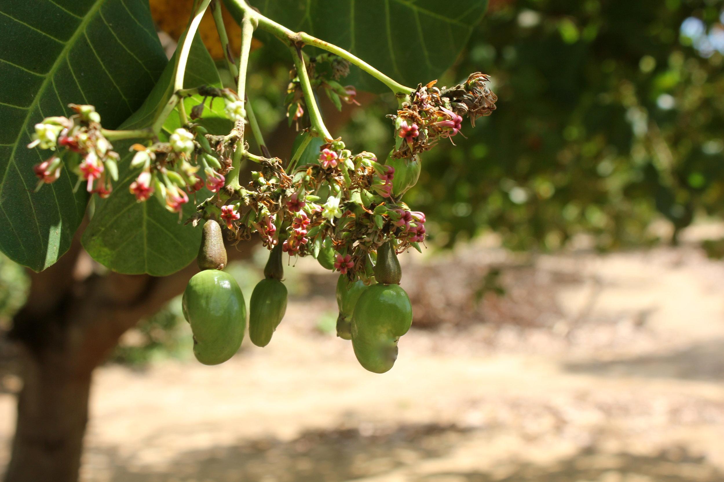 Nangade district, Cabo Delgado province  - Farmers in Mozambique collect both the cashew nuts and apples at the time of the harvest |  Os produtores em Moçambique recolhem as castanhas de caju e as maçãs durante a colheita