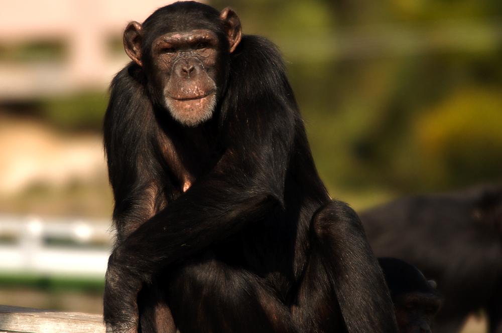 chimp2.jpg