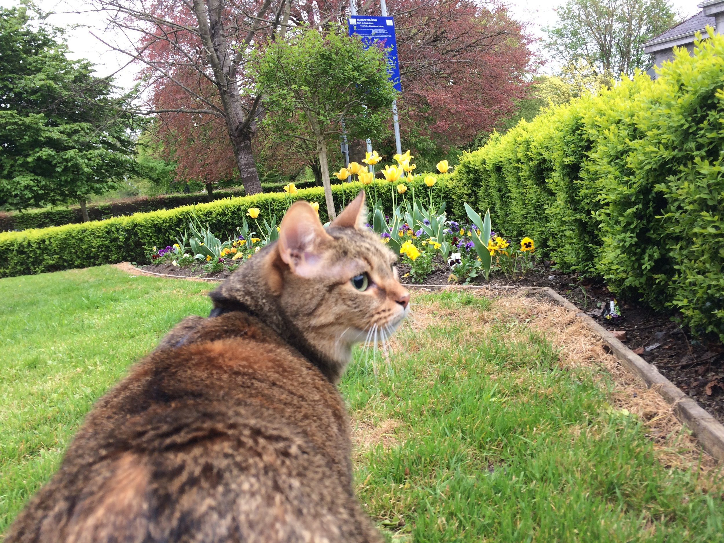 Recovery walk in People's Park, April 2017. Happy teeth! Happy kitty! Happy spring!