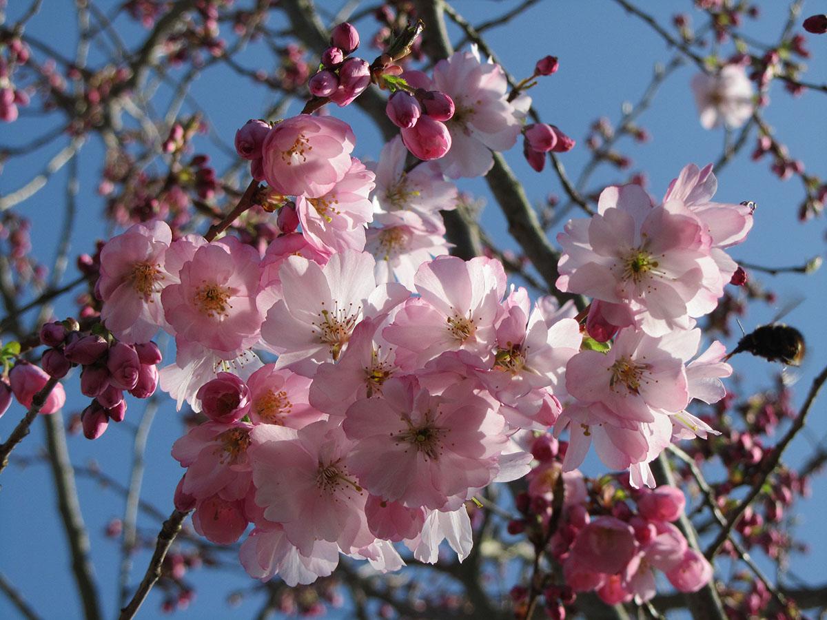 Cherry Orchard Prunus Accolade (Emily).jpg