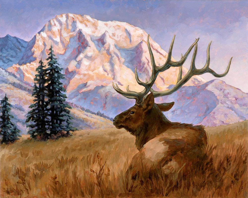 Teton Elk Repose at Sunset