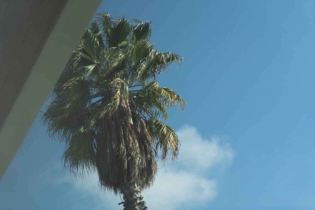 Palm tree Cali.jpg