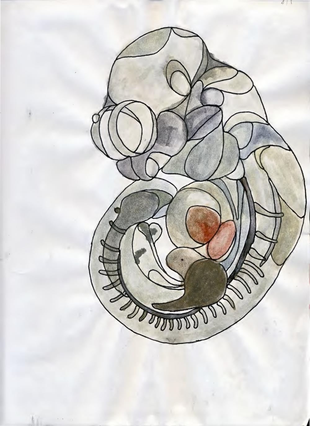 embryo+watercolor.jpg