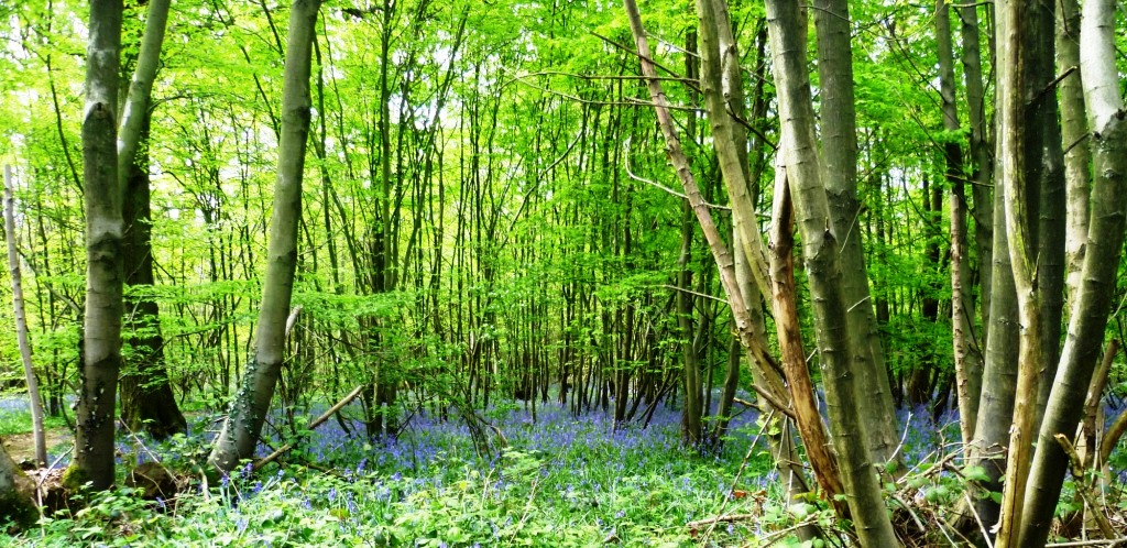 A wonderful carpet of bluebells (badly photographed here) just a little sample of what the woodlands are currently offering
