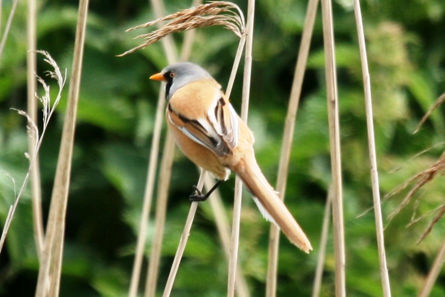 A rare spot in Kent (though they have appeared at Oare Marshes on the odd occasion), a Bearded Reedling (aka Bearded Tit), it is a gorgeous bird.