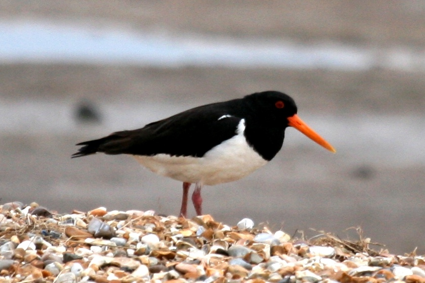 A Common bird on the Medway is an Oystercatcher (this one was at Snettisham Marshes)