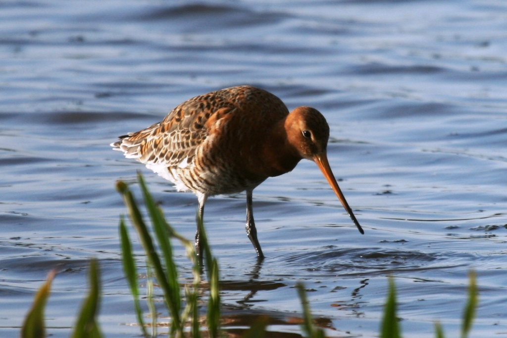 A Black Tailed Godwit, one of the larger waders you can see along British coastlines