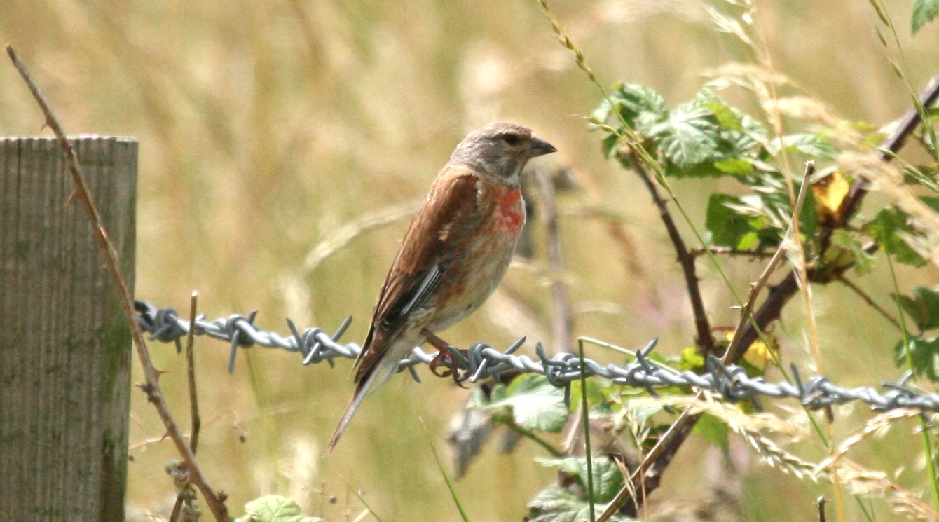 A Linnet at Oare Marshes