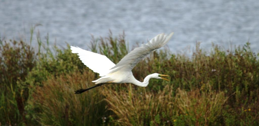A Great White Egret photographed at at Dungeness - a rare visitor to this country.
