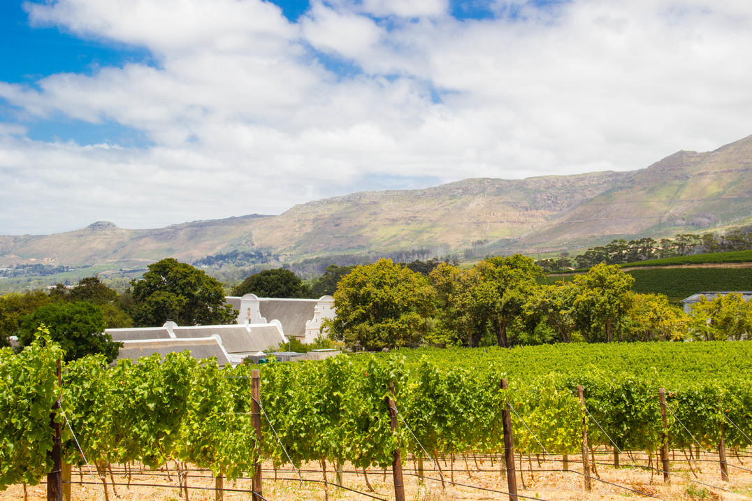 The beautiful green vineyards at Groot Constantia copy.jpg