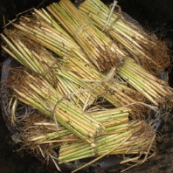 Dormant beach grass stems or culms ready for planting in the early spring and late fall.