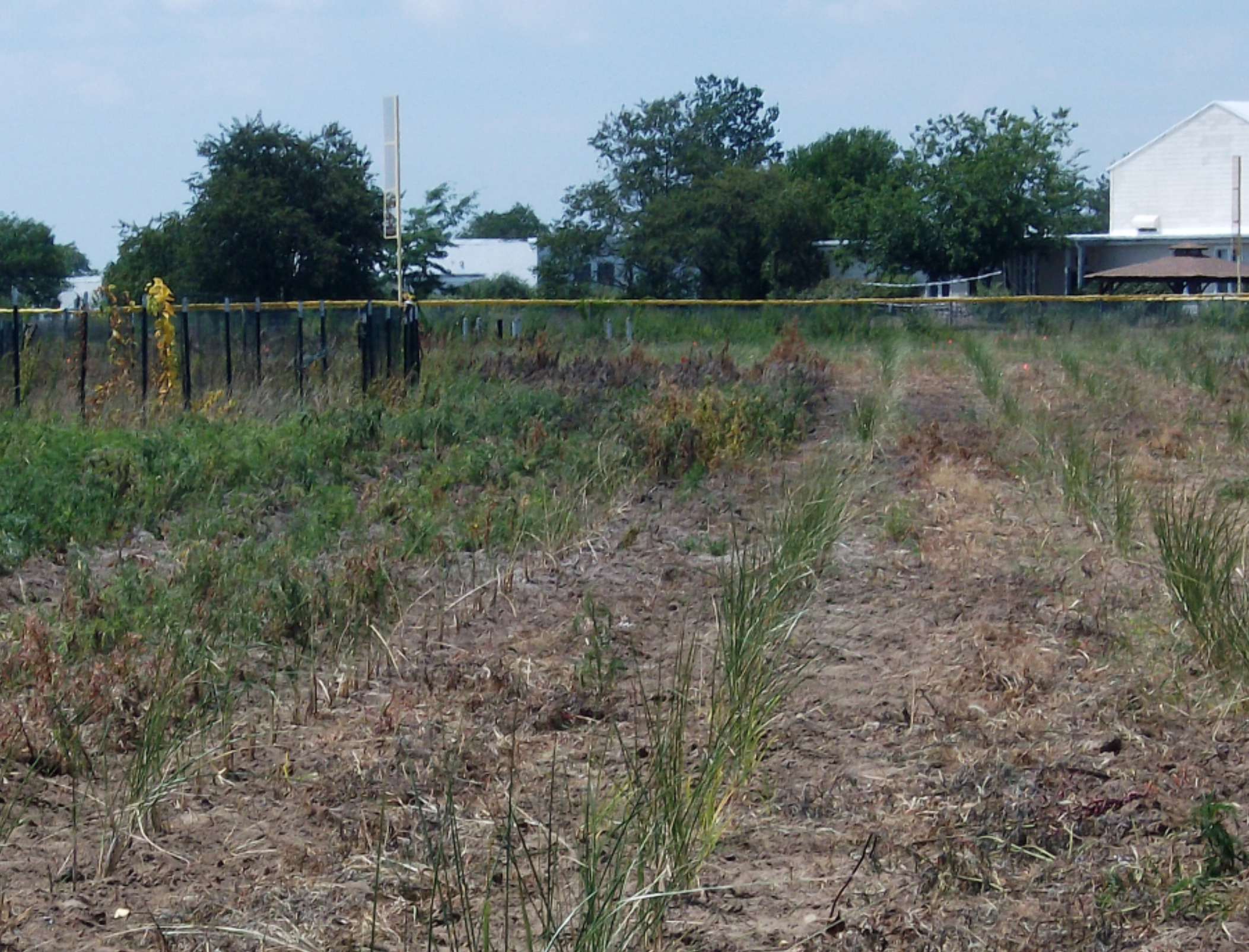 Rows of beach grass that were planted at the Floyd Bennett Field nursery will be harvested while dormant in the fall and winter.