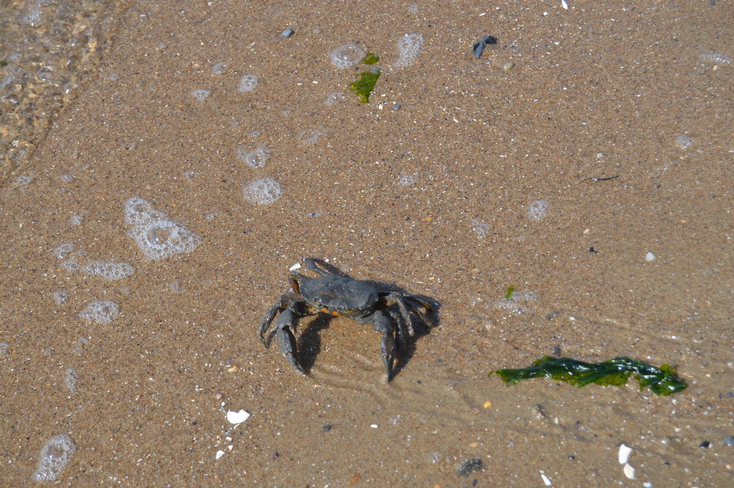 Plumb Beach Crab 9-20-2014.JPG