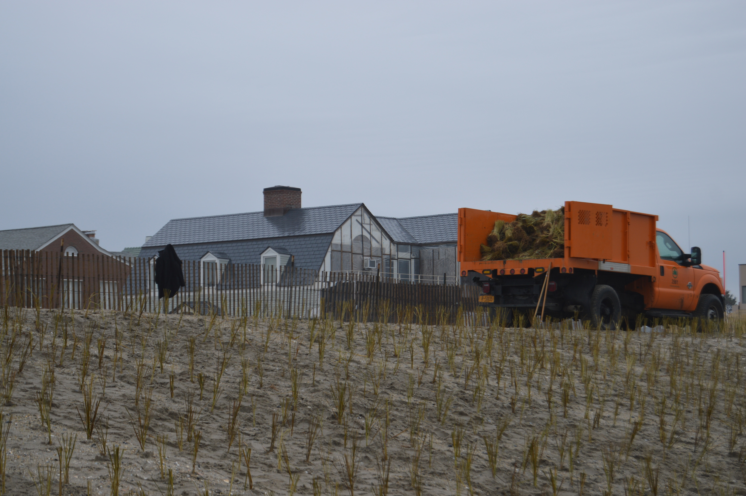 Beach grass plays an important role in dune fortification and coastal protection.