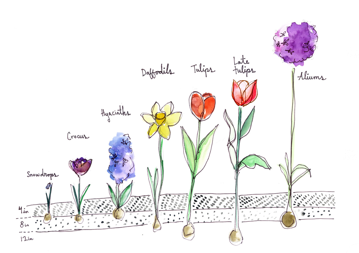 Bulb depth planting guide and a couple of our favorite perennial bulbs.