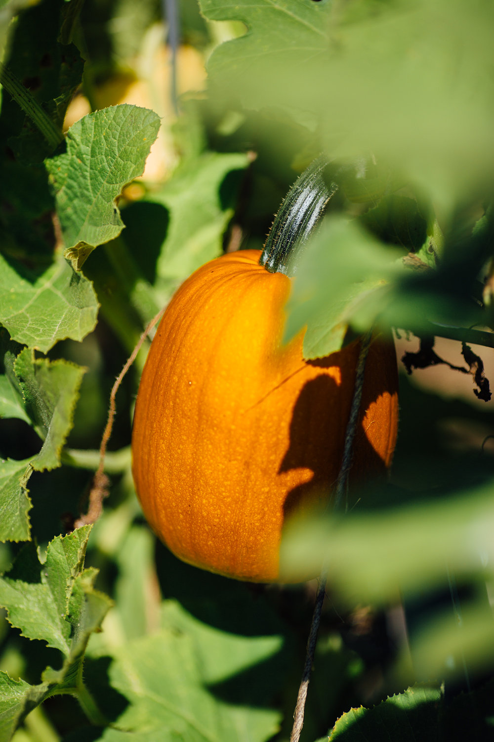 Sugar pumpkins growing up and supported by a trellis of cattle paneling.