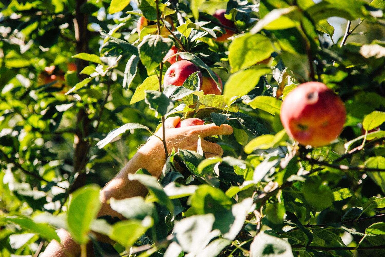 The farm is growing some beautiful Zestar,Frostbite, Honey crisp & Keepsake apples.