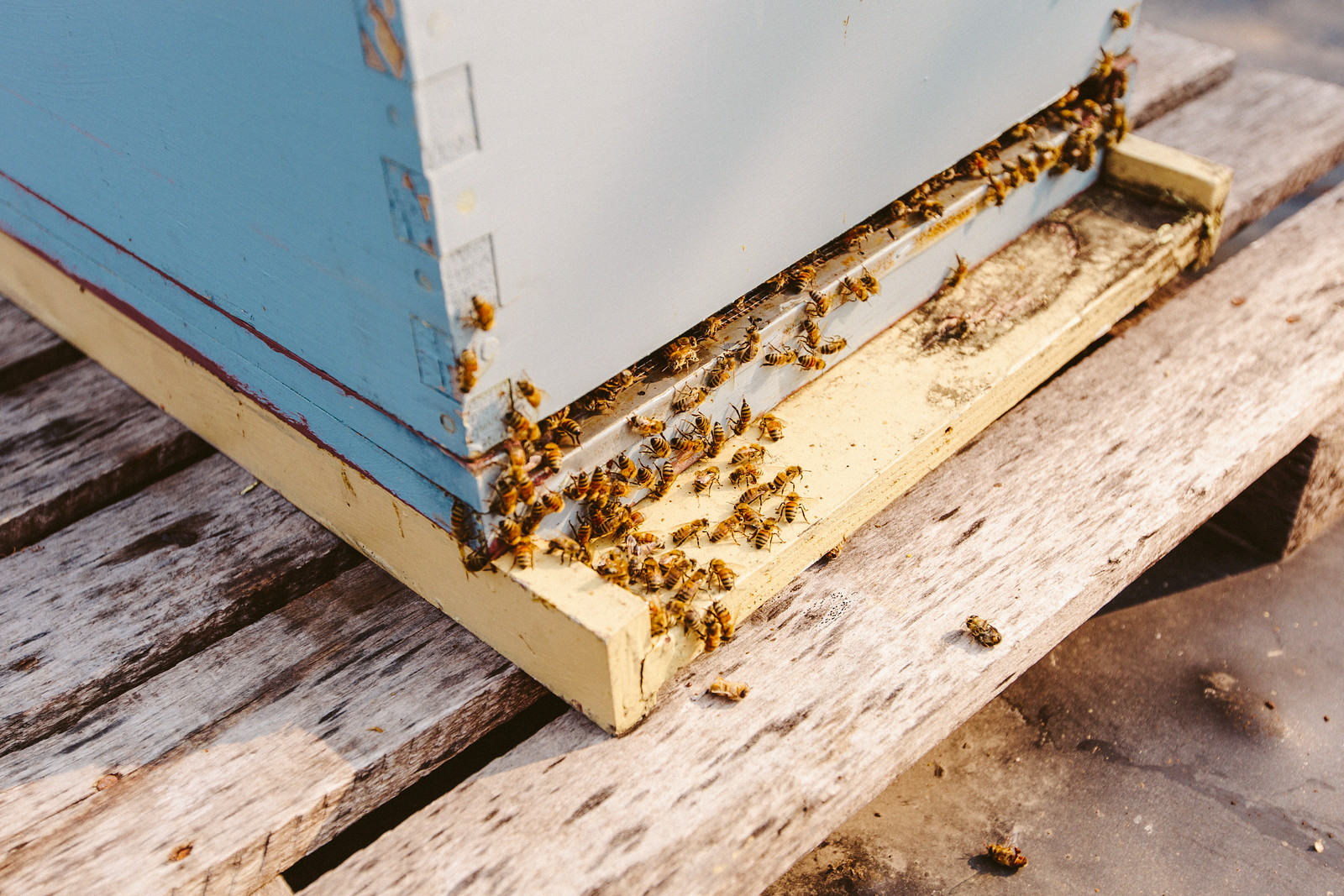 The average beehive will produce 150 pounds of honey annually.