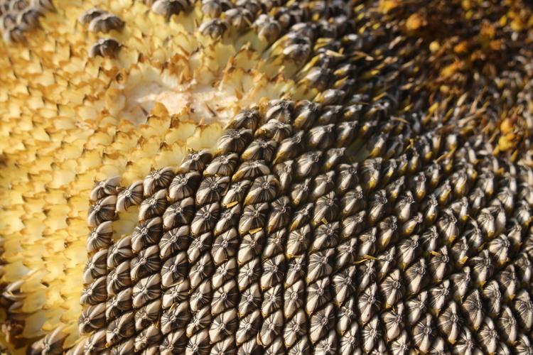 Sunflower close up, my favorite angle.