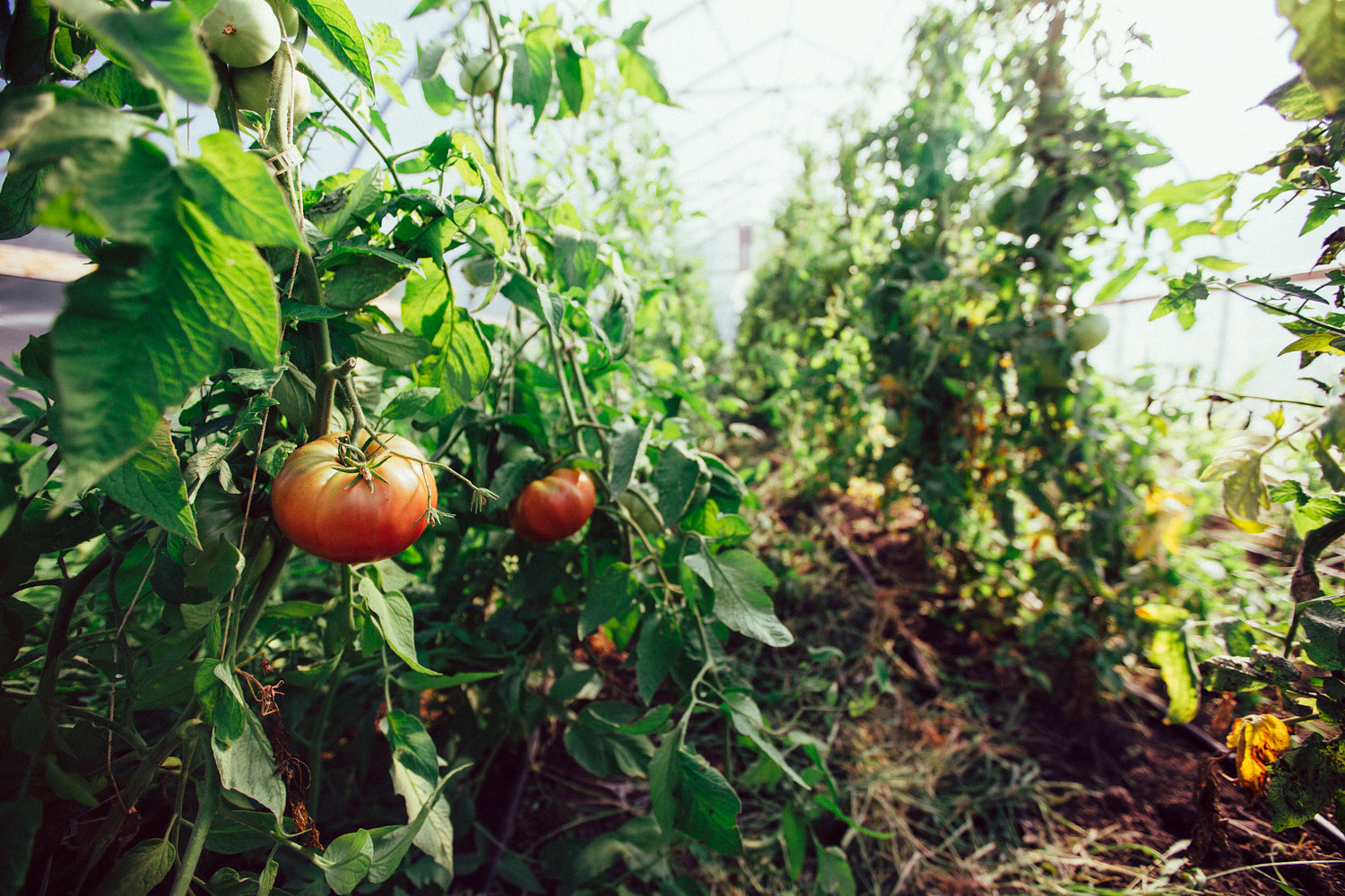 Heirlooms waiting to be picked.