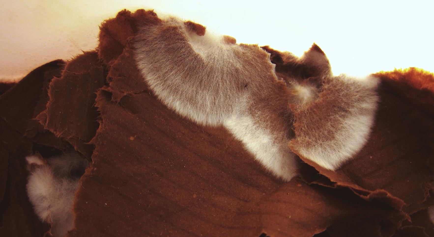 White mycelium running up onto un-colonized cardboard.