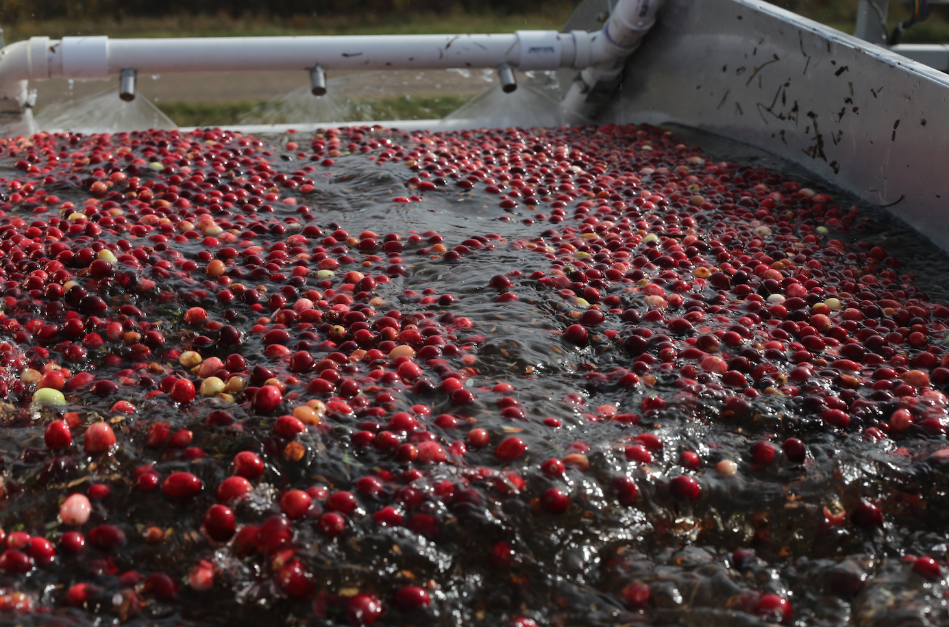 The berries are sprayed as they float off to the semi truck