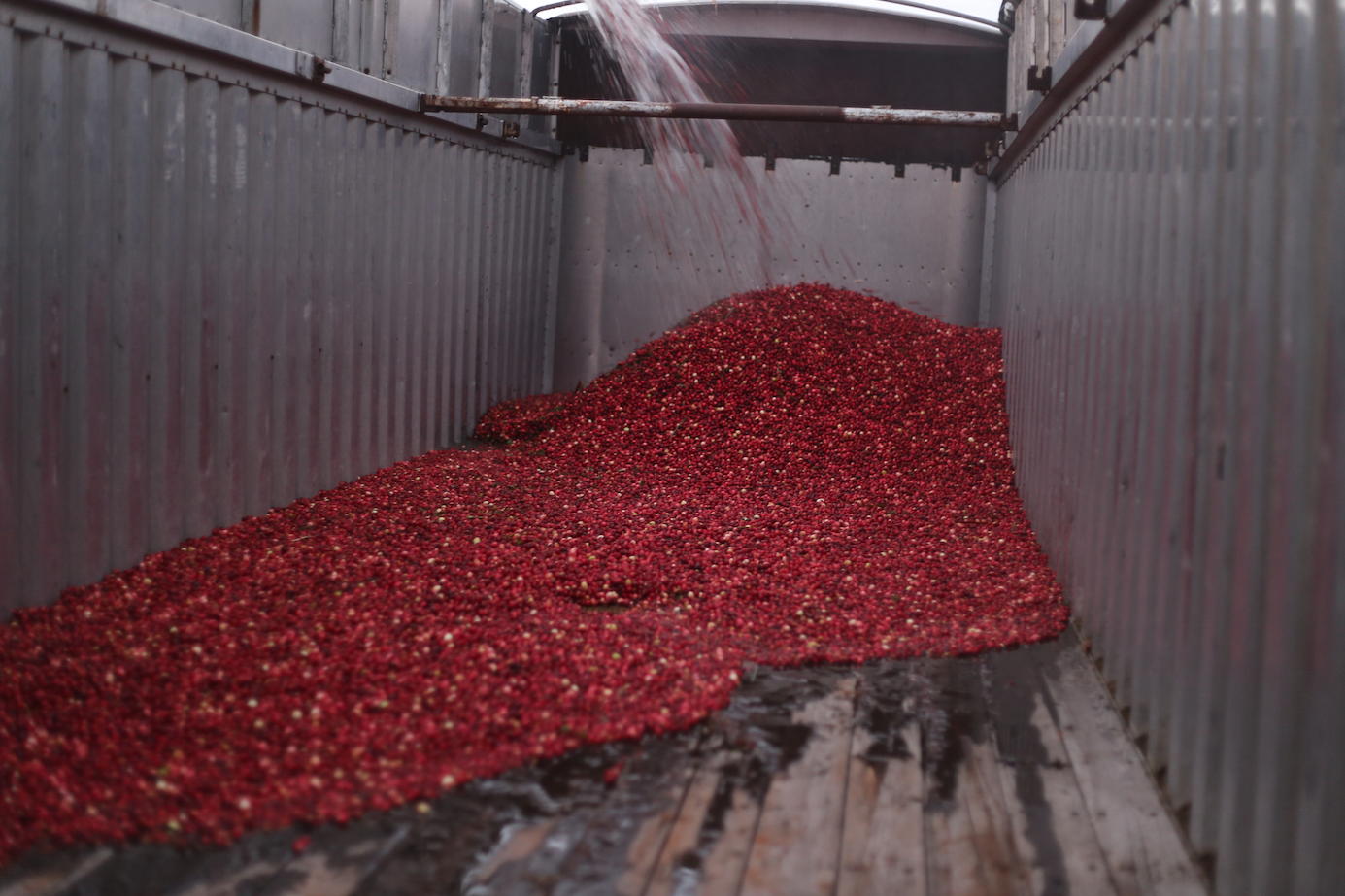 Here they are being loaded into the back of a semi, they estimated the harvest would be around 30,000lbs the day we visited