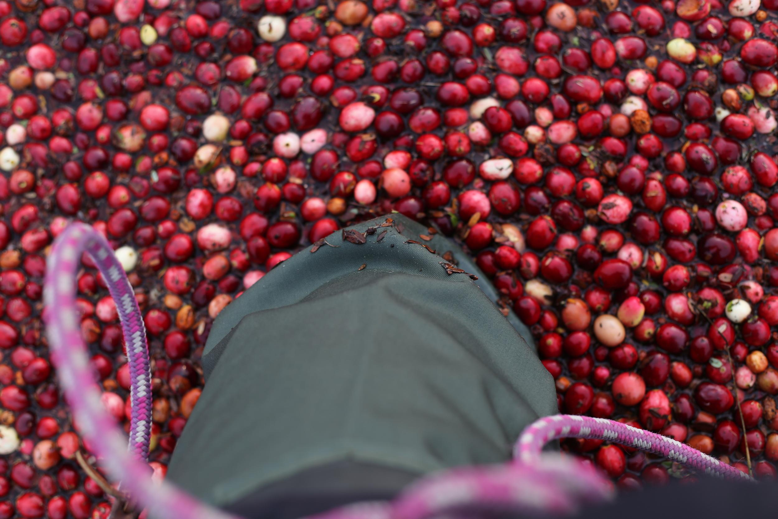 Knee deep in cranberries!