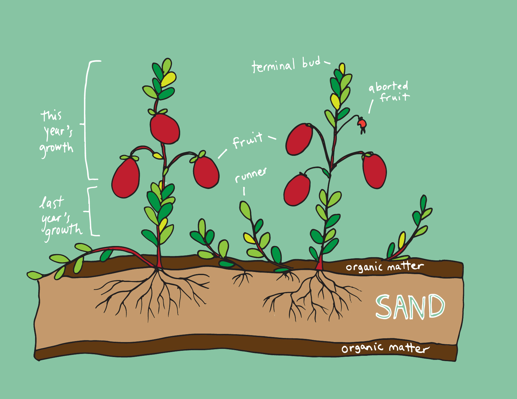 Anatomy of the Cranberry plant. Illustration by  Rachel Rolseth .