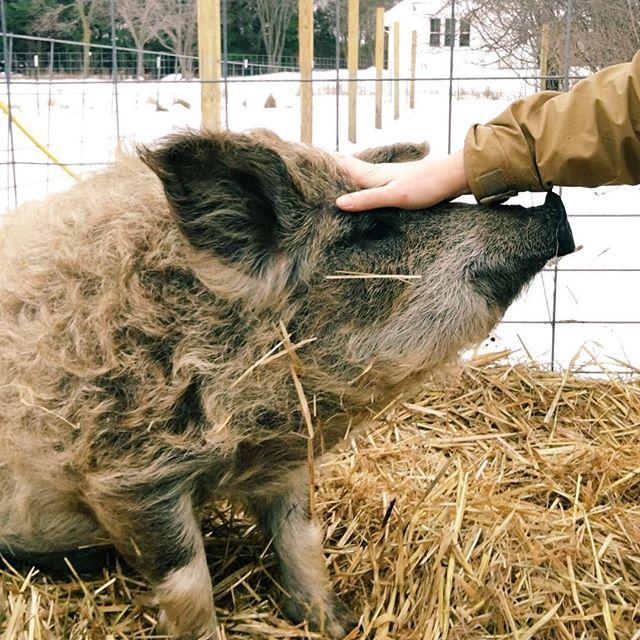 A year's worth of lessons learned at our very own @beattystonefarms, give er a read. Link in profile! #tootieanddotes #beattystonefarms #slowpork #mangalitsa #mangalica #woolypig #organicfarm #familyfarm #smallfarms #mngrown #slowfoods #eatdrinkdishmpls #nosetotail #nosetotaileating #wholehog #organicpigs #organicpork