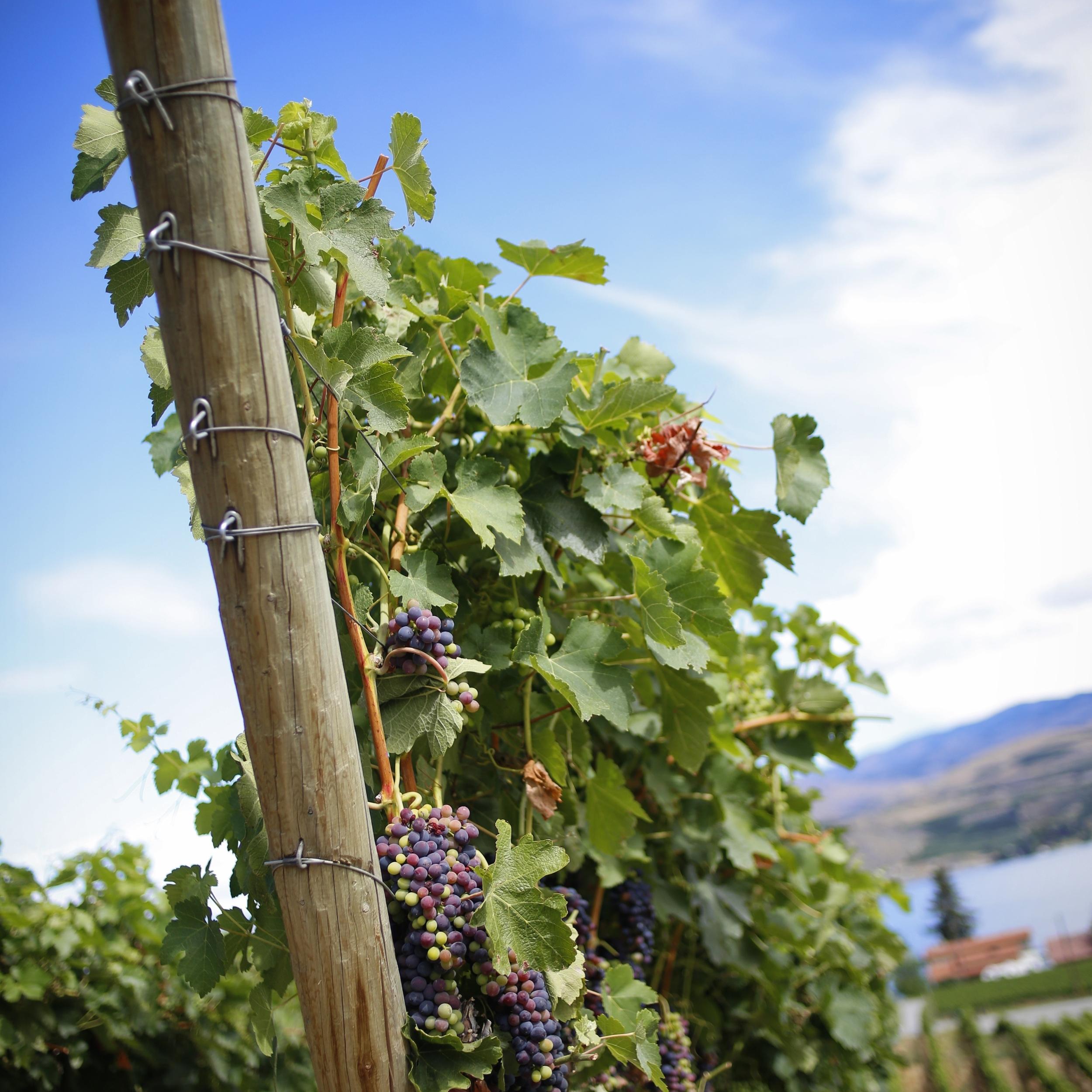 Grapes-Vineyard-Nefarious-Chelan.jpg