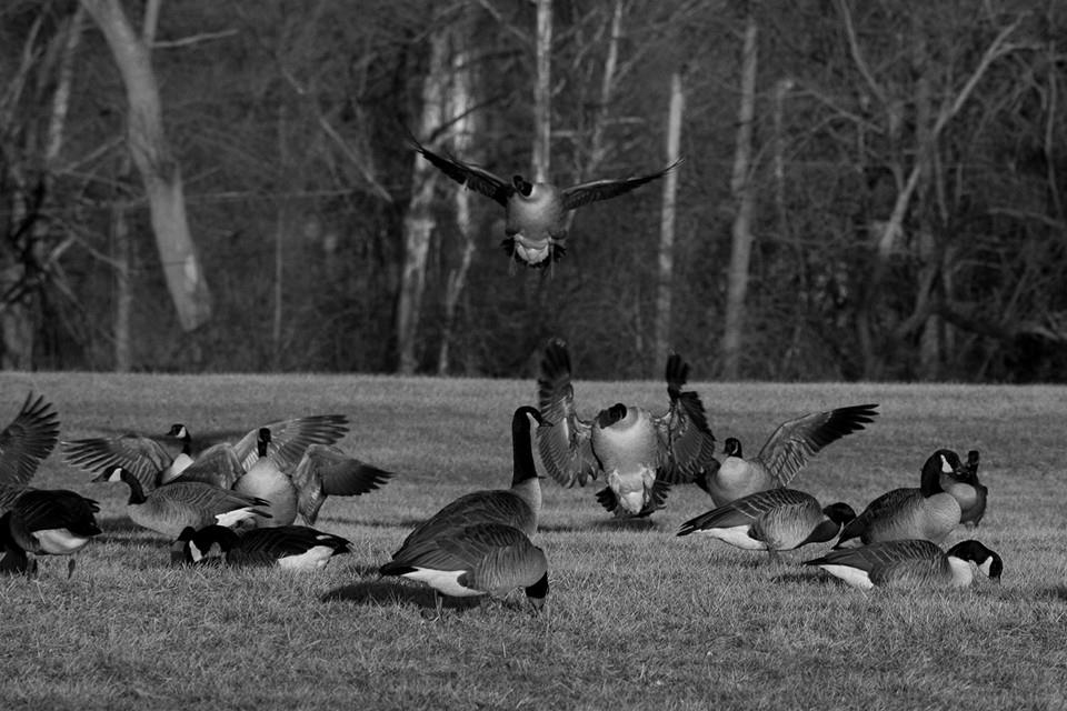 #project365 took a walk in the park...came across some geese flying in... (43/365)