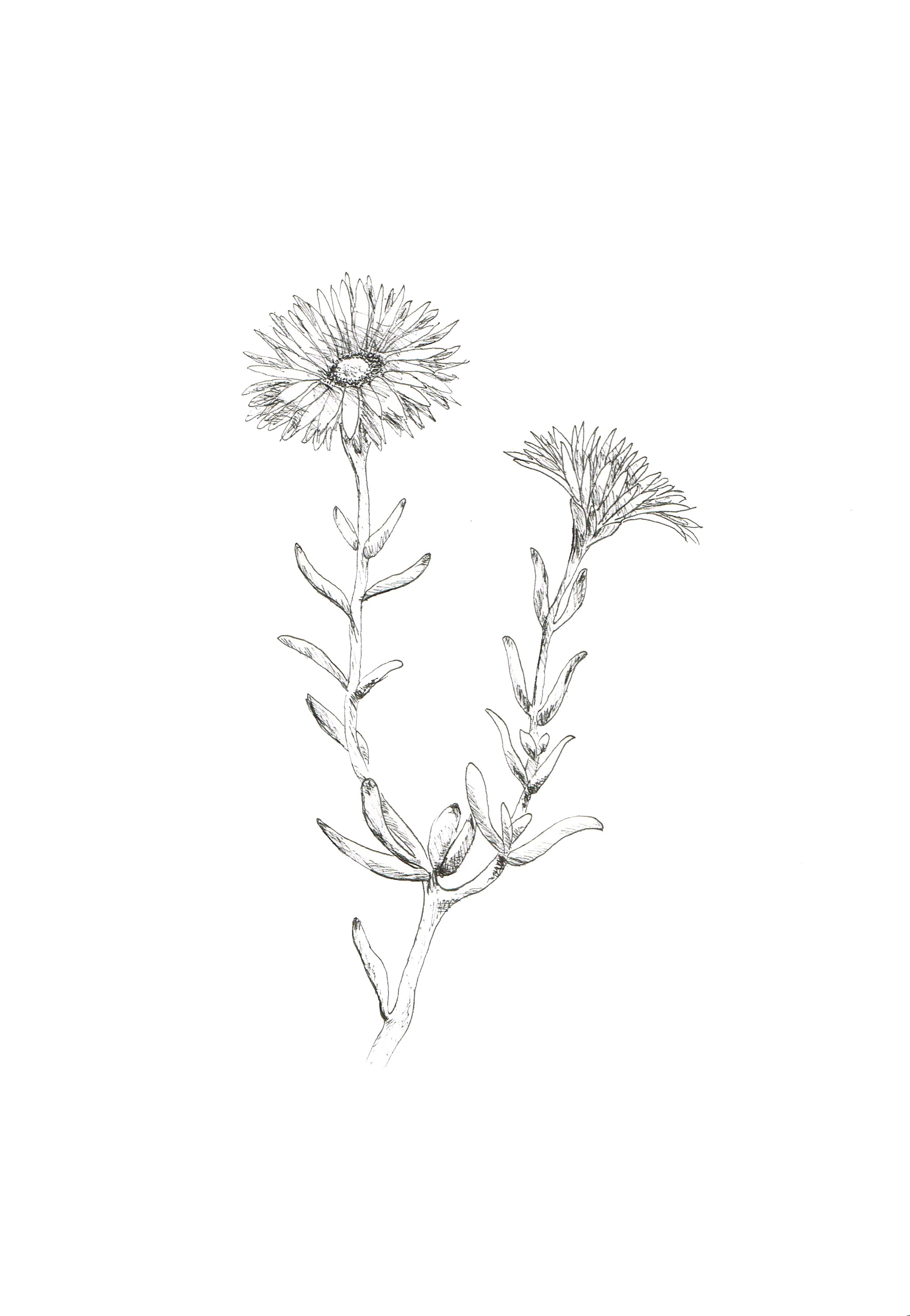 drosanthemumplant001.jpg