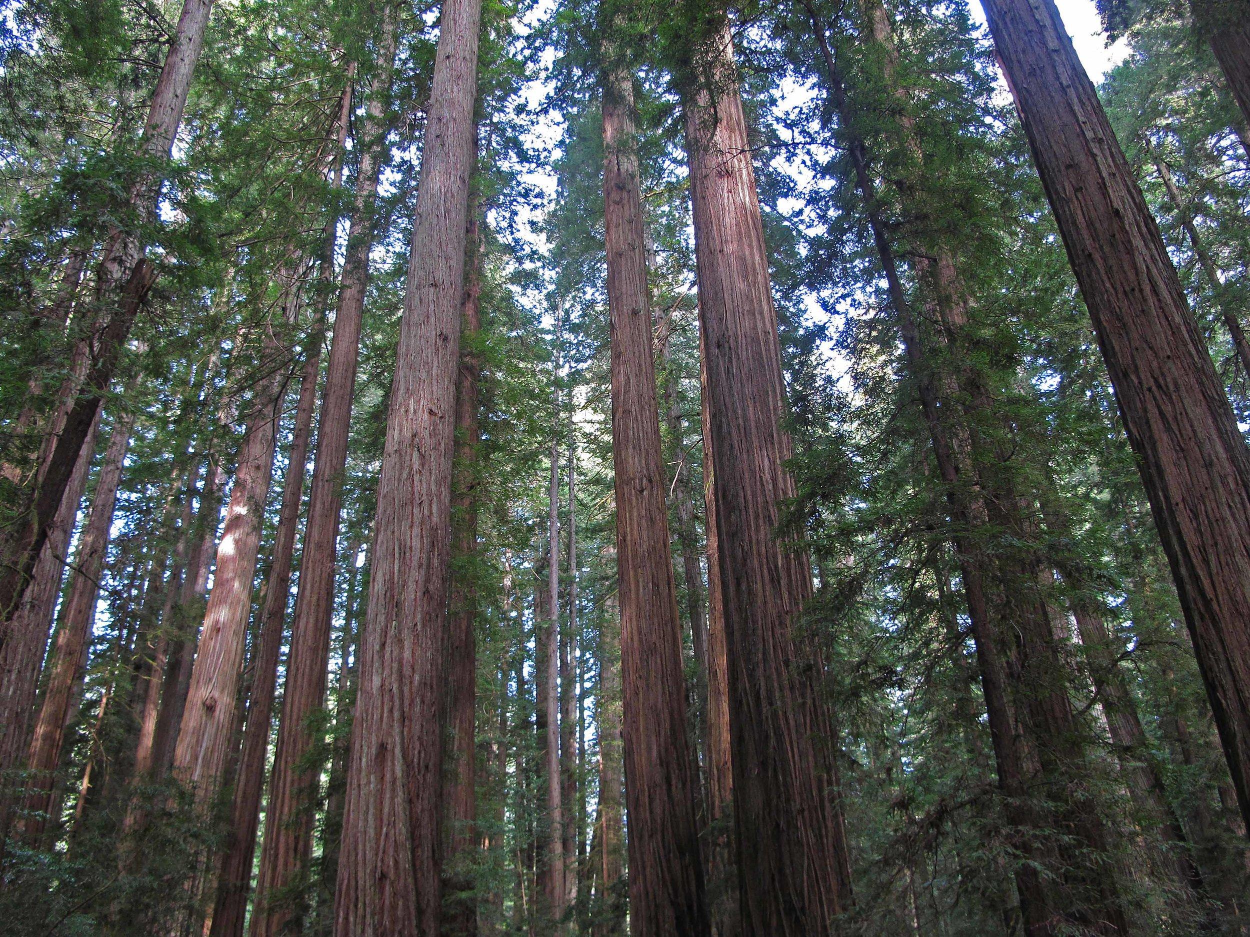 Humboldt Redwoods_low res.jpg