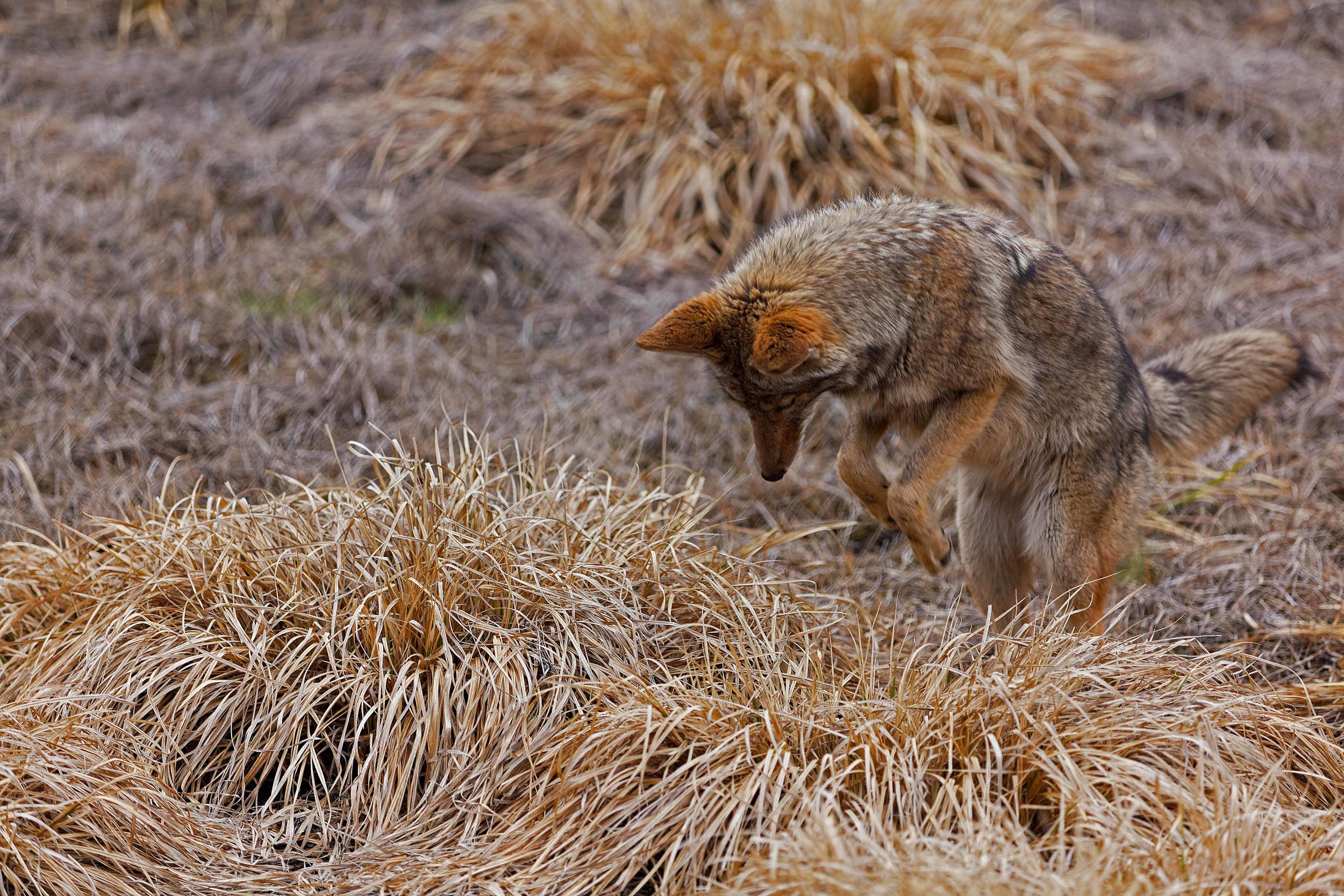 coyote pounce_low res 2.jpg